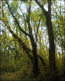 Rare elms in Tarecroft Wood