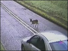 A deer attempts to cross a road in Ashdown Forest
