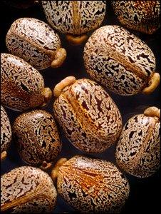 Castor oil beans (SPL)