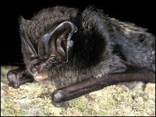 Barbastelle bats (pic by Hugh Clark)