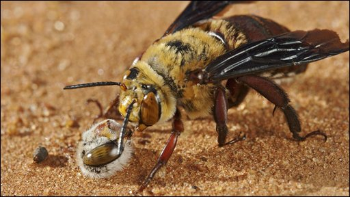Dawson's bee decapitates rival