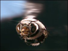 Dawson's bee in flight