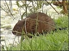 Water Vole on the Cronford Canal