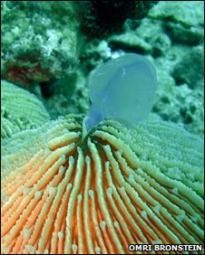 Mushroom coral eating a jellyfish