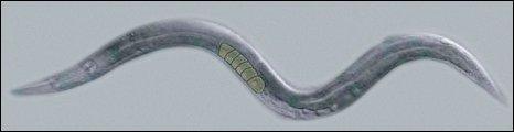 Hermaphrodite nematode (Science)