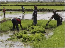 Rice farmers in Ahero, Kenya