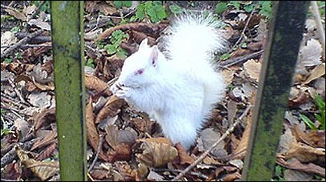 Dorking's white squirrel