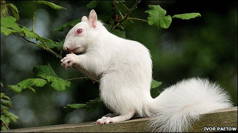 Albino Squirrel in Great Bookham