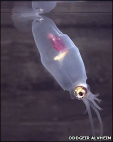 Unknown squid