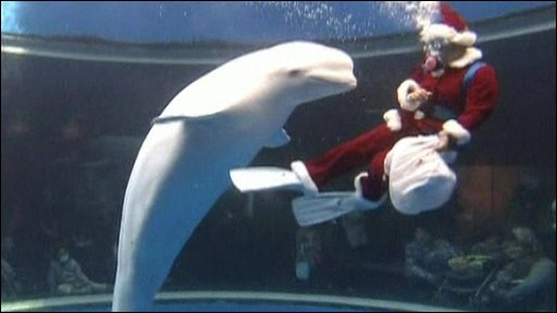 A scuba-diver in a Santa Claus costume and a Beluga whale