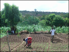 Tending to a field of crops in Malawi