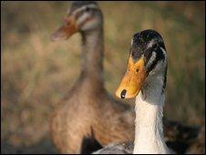 Duck (BBC)