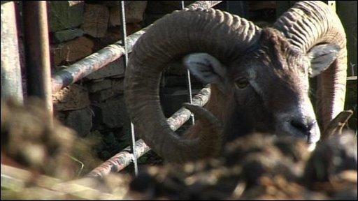 Muffie the Mouflon sheep