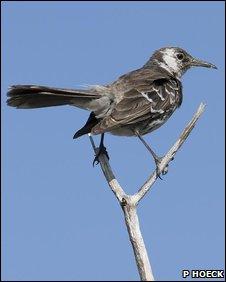 Floreana mockingbird (Paquita Hoeck)
