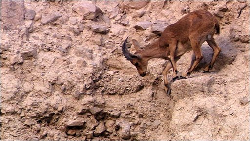 Adult ibex on cliff