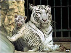 A white tiger and cub (file image)