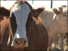 Cows in Botswana