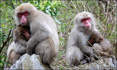Japanese macaques (Macaca fuscata)