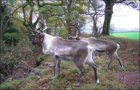 Reindeer in Usk Castle Chase