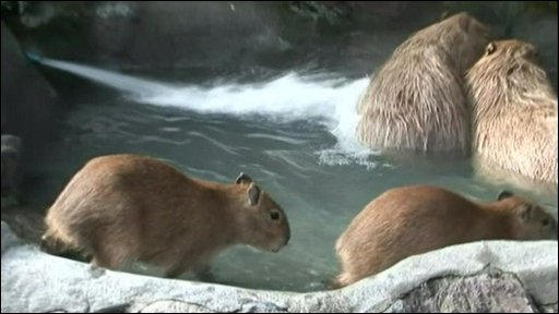 Family of giant rats swim in special hot spring