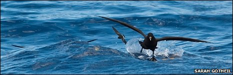 White-chinned petrel and storm petrel