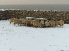 Sheep on Flat Holm in winter
