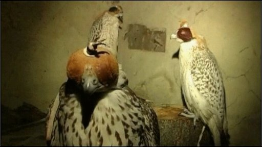 Rescued falcons