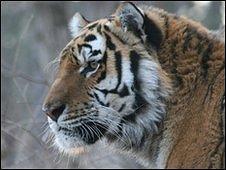 Siberian tiger (WCS)