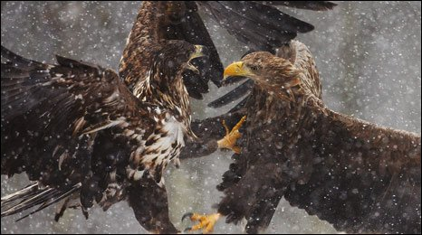 """""""Clashing Eagles"""" by Antoni Kasprzak – an image capturing white tailed eagle as they clash for food."""