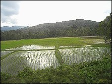 Paddy fields seen from the train