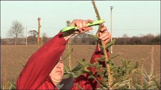 Man pruning Christmas tree