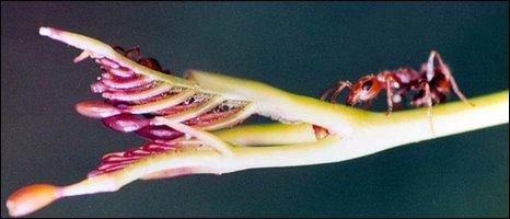 Pseudomyrmex ant (Nigel Raine)
