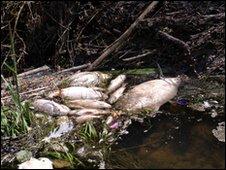 Dead fish in a river