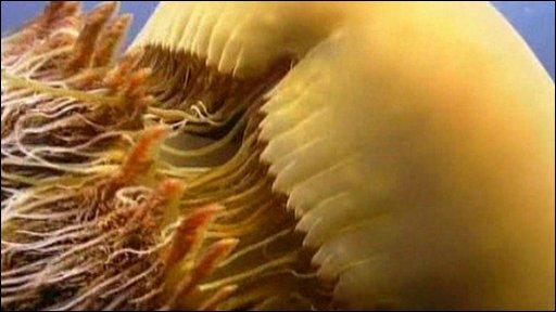 Giant Echizen jellyfish