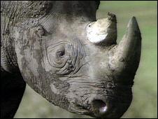 Black rhino (Image: BBC)