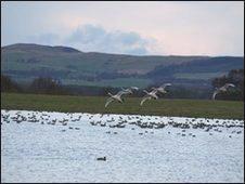 Swans at Vane Farm. RSPB