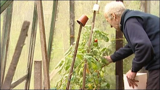 Tom Cullinan harvesting his tomatoes