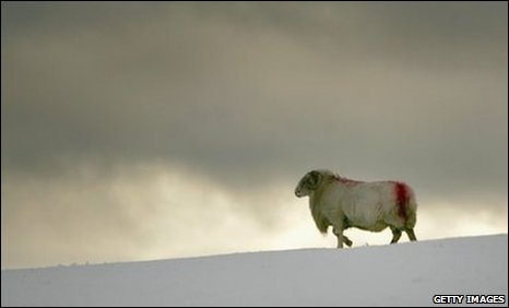 Sheep in snow at Capel Curig, Snowdonia