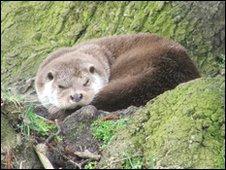 British otter