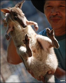 A kangaroo allegedly smuggled in Indonesia