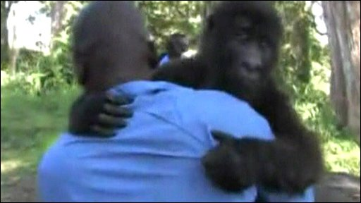 Mountain gorilla being carried by keeper