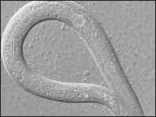 C elegans, Dr S Sturzenbaum