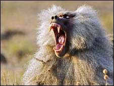 Baboon displaying teeth