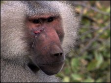 Baboon with scar