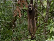 Gibbon hanging