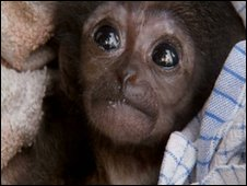 Baby gibbon