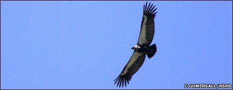Asian vulture (RSPB)
