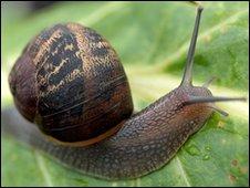 A common garden snail