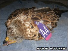 Red Kite recovers after being shot