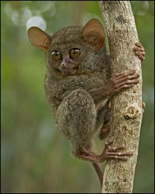 Spectral tarsier (Tarsius tarsier)